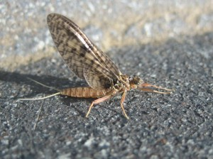 March Brown mayfly by David Moskowitz