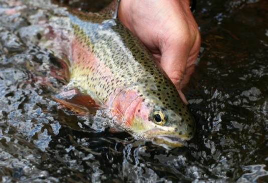Redband trout, lower Deschutes River. Photo by Brian O'Keefe.