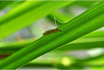 Antocha Crane Fly. Photo by Rick Hafele.
