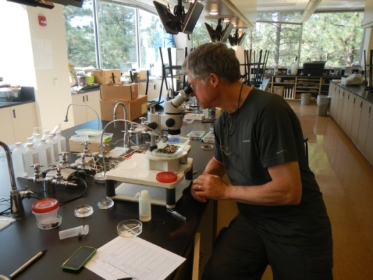 Rick Hafele examining trout stomach contents. Photo by Greg McMillan.